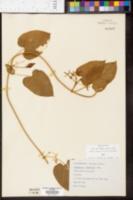 Image of Vincetoxicum shortii