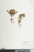Image of Sedum hybridum