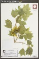 Acer cappadocicum image