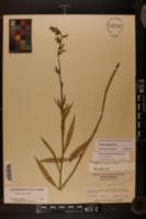 Lobelia elongata image