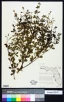 Baptisia lecontei image