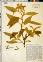 Solanum hispidum image