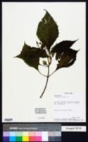 Image of Clibadium erosum