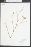 Sabatia stellaris image