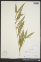 Image of Phyllostachys dulcis