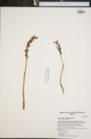 Corallorhiza mertensiana image