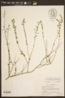 Image of Clinopodium dentatum