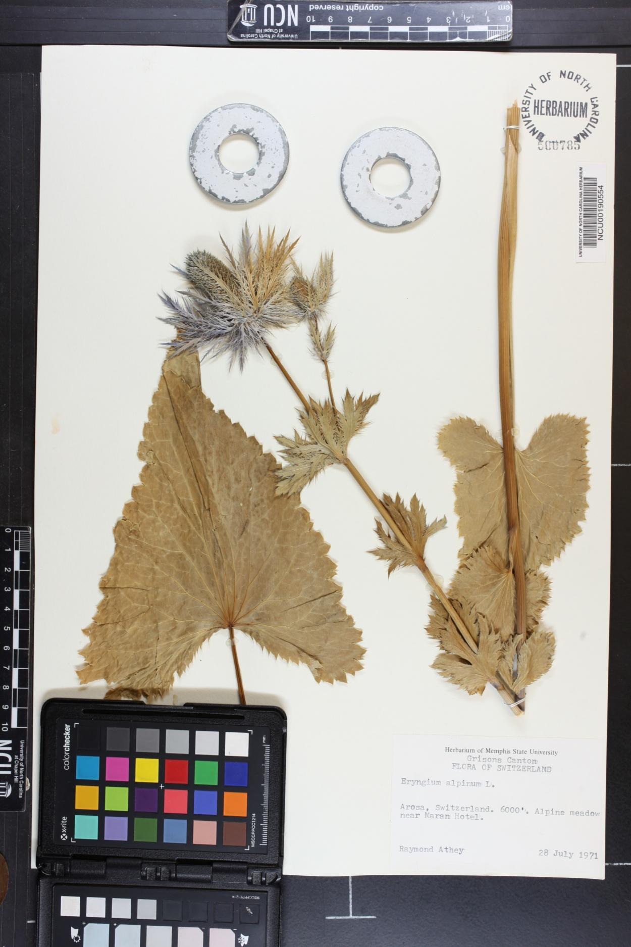 Eryngium alpinum image