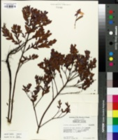 Image of Ascyrum edisonianum