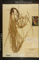 Cyperus croceus image