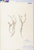 Filago vulgaris image