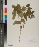 Physalis pubescens var. integrifolia image