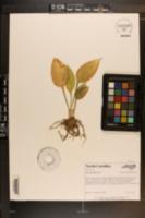 Hosta lancifolia image