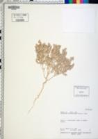 Image of Atriplex minuticarpa