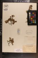 Crataegus uniflora image