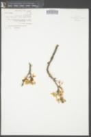 Prunus fruticosa image