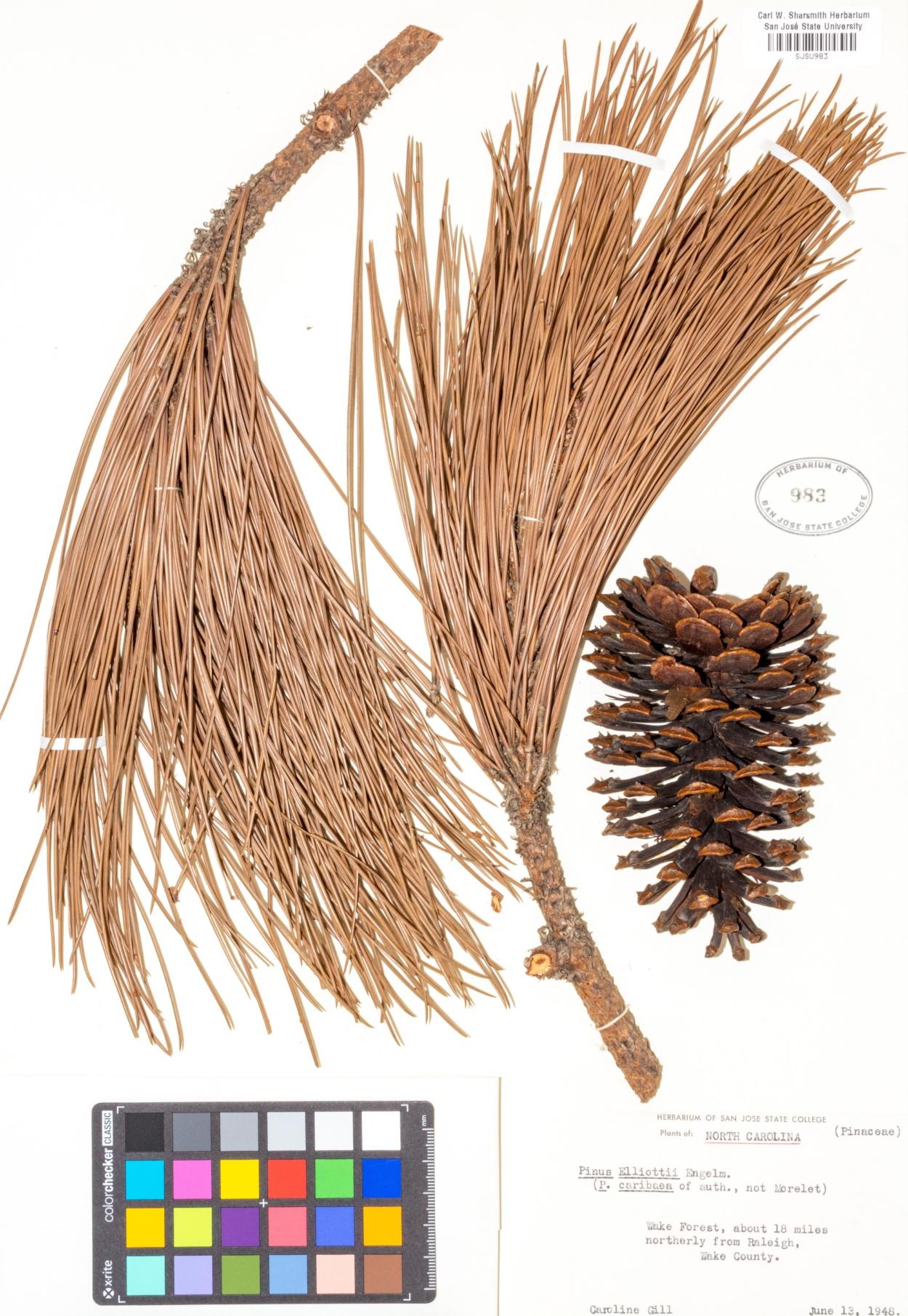 Pinus elliottii image