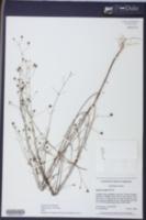 Image of Agalinis laxa