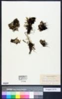 Selaginella underwoodii image