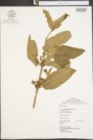 Image of Aristeguietia glutinosa