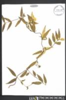 Gelsemium sempervirens image