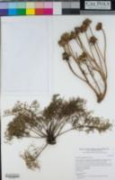 Leptosyne gigantea image