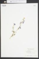 Delphinium elatum image