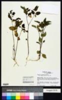 Physalis arenicola image