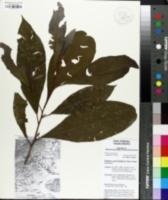 Image of Protium copal