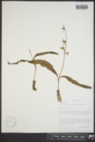 Erythronium purpurascens image