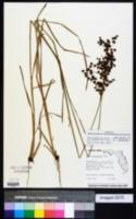 Juncus marginatus image