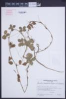 Arachis cardenasii image