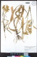Solidago confinis image