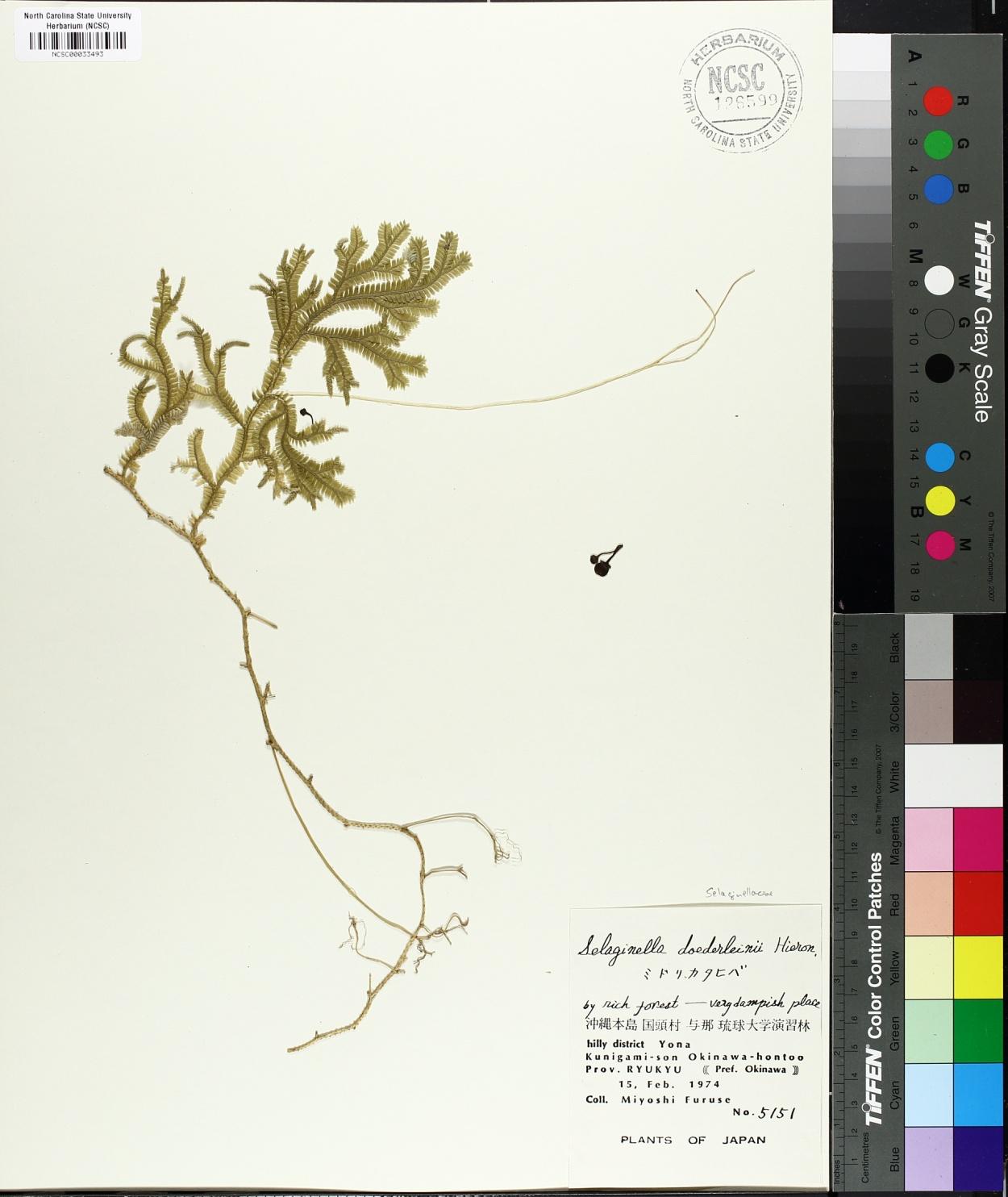 Selaginella doederleinii image