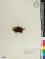 Image of Polytrichum piliferum