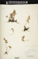 Pleopeltis thyssanolepis image