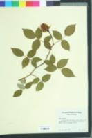 Image of Rosa odorata