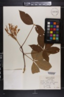 Image of Aesculus x bushii