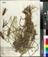 Image of Eustachys paspaloides