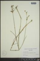 Juncus acuminatus image