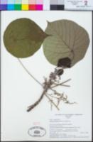 Image of Macaranga harveyana