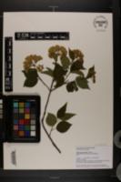 Image of Viburnum recognitum
