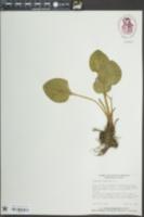 Parnassia grandifolia image