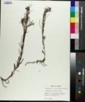 Lysimachia graminea image