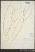 Manisuris cylindrica image
