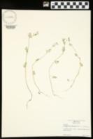 Chaerophyllum tainturieri image
