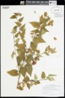 Abutilon megapotamicum image