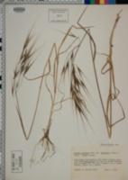 Bromus diandrus image
