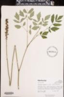 Actaea racemosa image