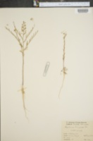 Image of Lepidium menziesii